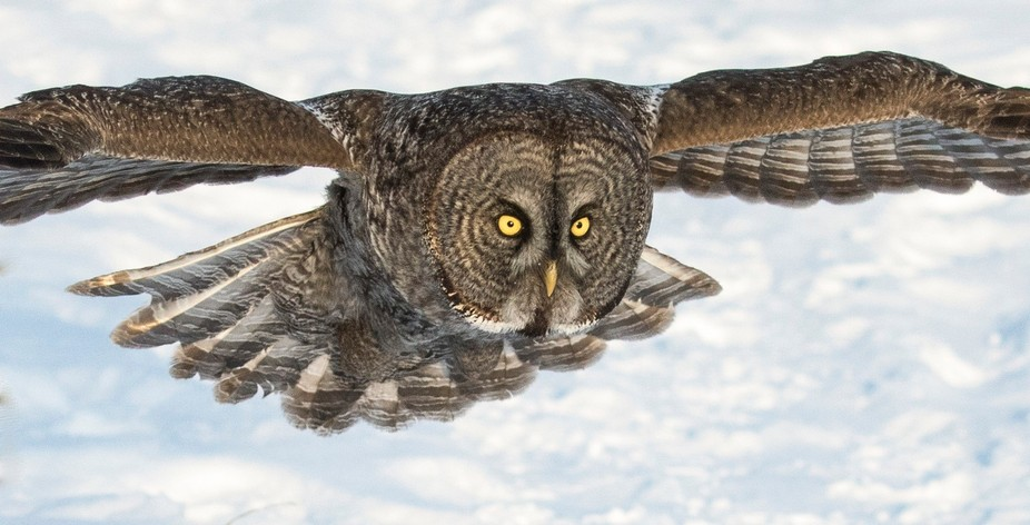 Great Gray Owl, Ontario, Canada