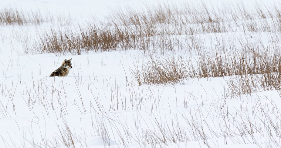 Yellowstone in winter is so beautiful! Watching this coyote hunting with the Bison herd, then off...