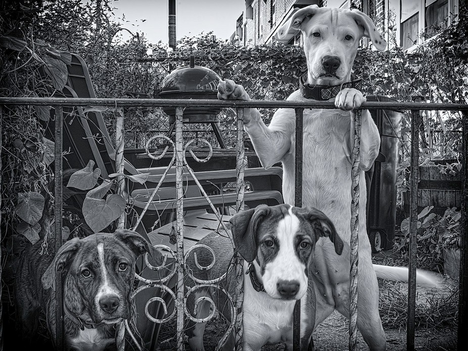 I fostered these three pit-puppies  until they outgrew our house. They finally came out Protectiv...