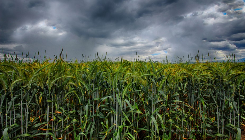 Wheat field and spring storm clouds