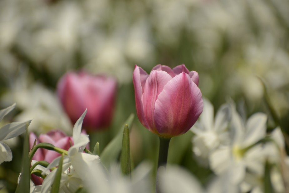 Tulips from the Tulip Festival in Ottawa, Canada. An event that takes place every year. It&#0...