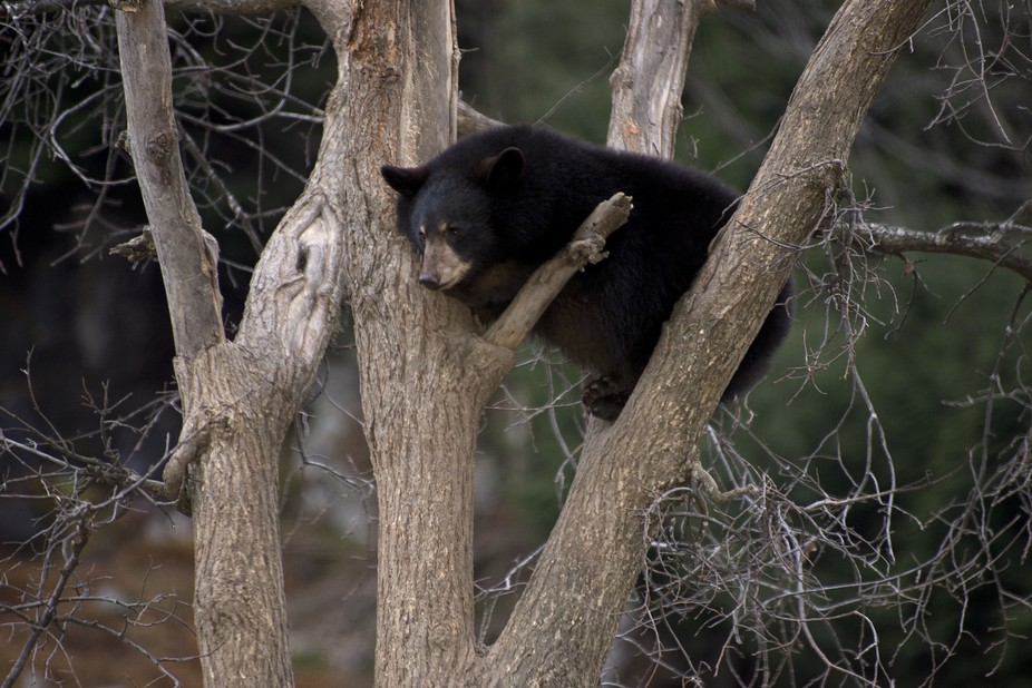 Photo was taken at Parc Omega in Quebec, Canada. The bear seem to enjoy the view from up high.