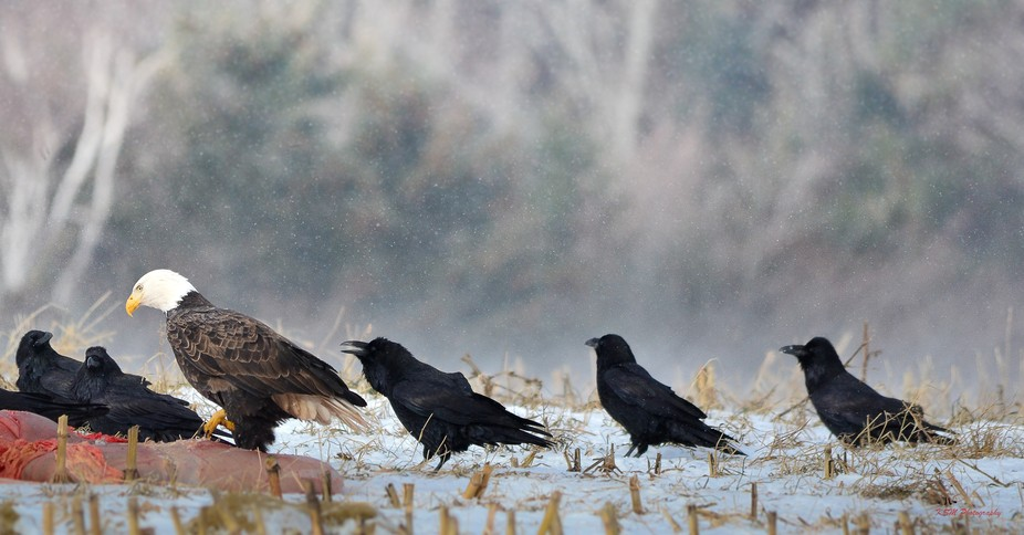 Eagles and crows scavenging