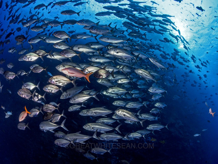 The school of Jackfish mixed with other fish at the south point of Roca Partida.