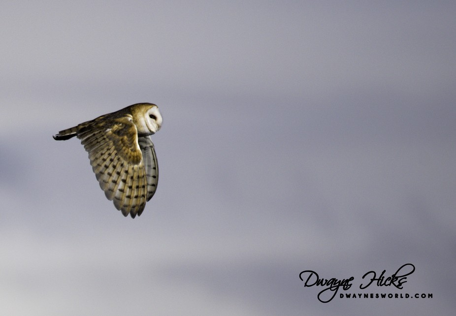 Caught a beautiful barn owl in flight as it flew out of a... well... a barn.