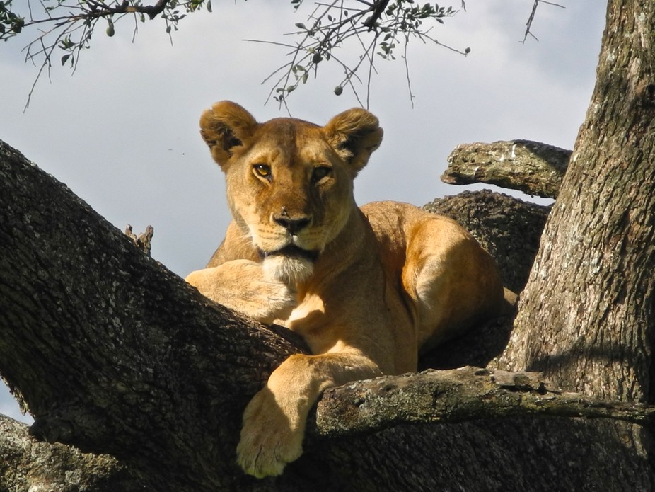 Lion at rest in sun and a safe tree. Tanzania.