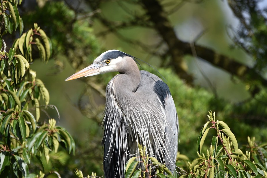 Great Blue Heron taking a break from nest building in the heronry in Beacon Hill Park, Vancouver ...
