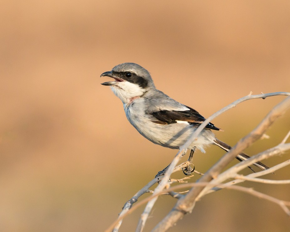 Profile portrait of a Southern Grey Shrike at sunset perched on o branch in bush with beak open w...