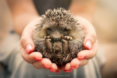 Baby hedgehog sleeping in my hands