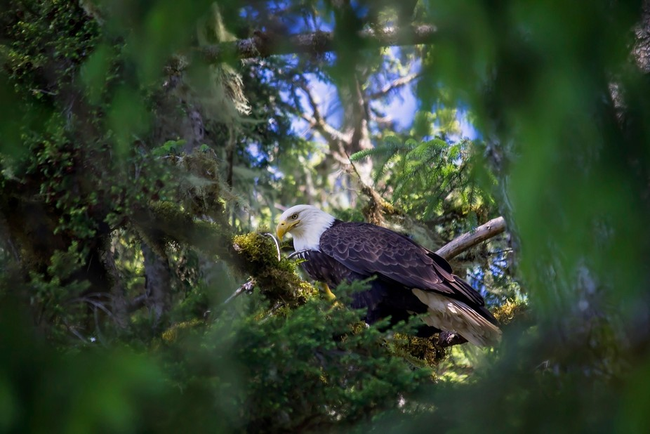 Eagle perched and watching.  Have to love when you can capture a nice natural frame around the su...