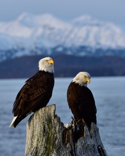 A pair of eagles