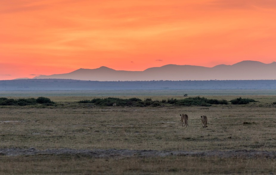 Two lioness out on an early evening prowl in Amboseli, Kenya