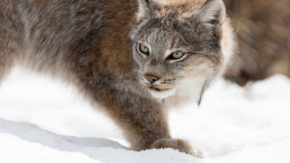 Always look for snowshoe hare foot track if you re looking for a lynx. Sometimes when you get clo...