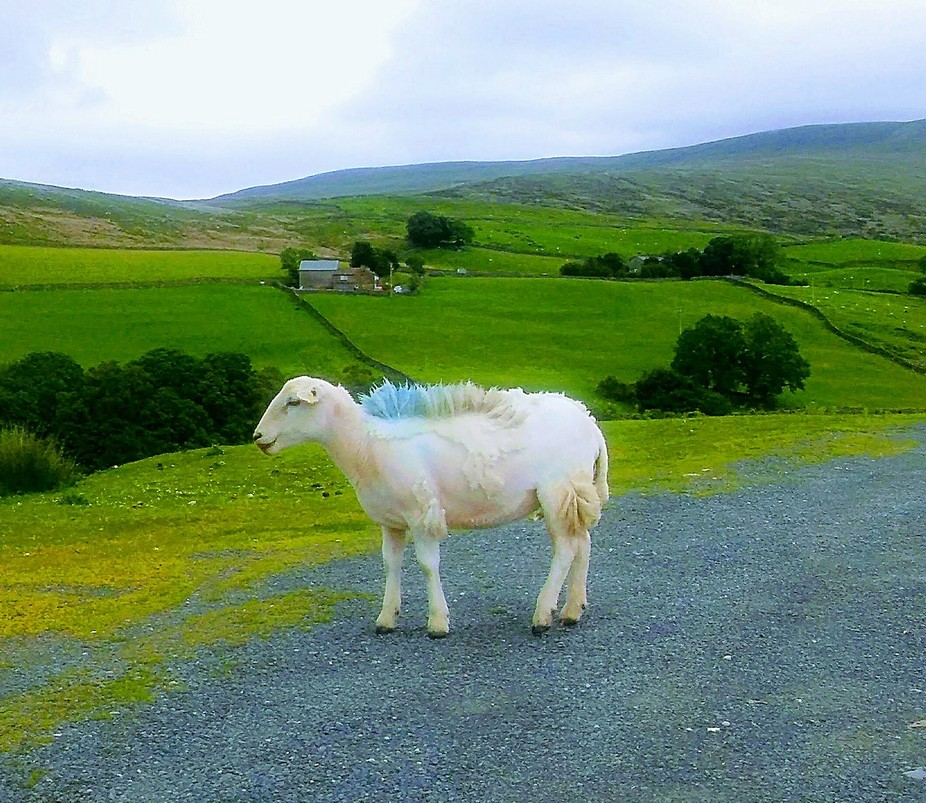 Came across this sheep on a recent drive through Wales.
