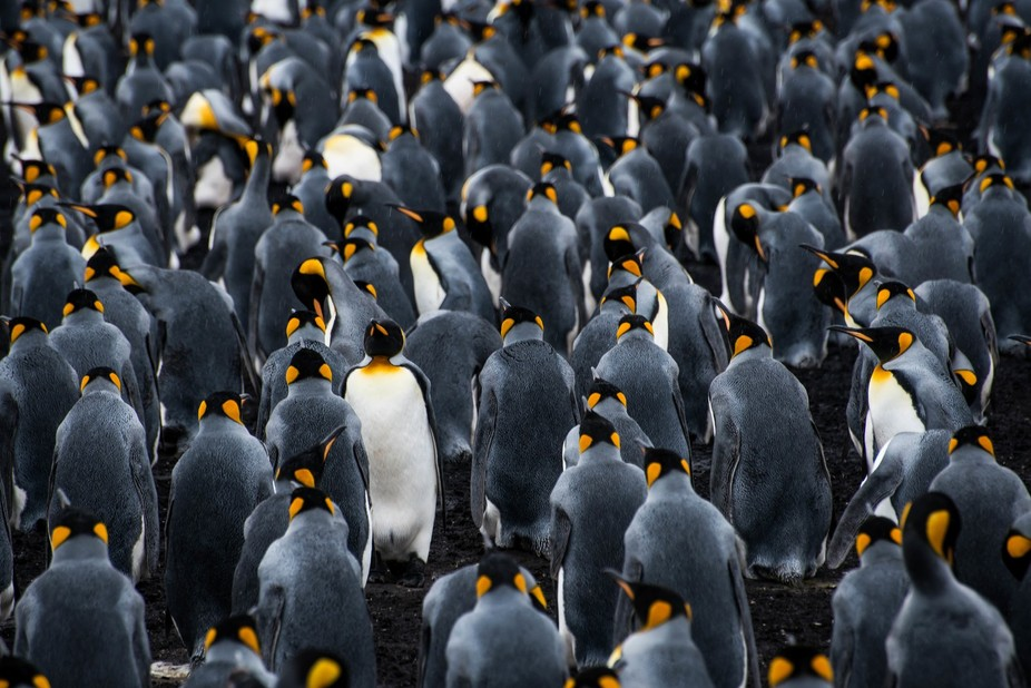 When capturing this shot I was amazed how out of all the hundreds of king penguins in this colony...