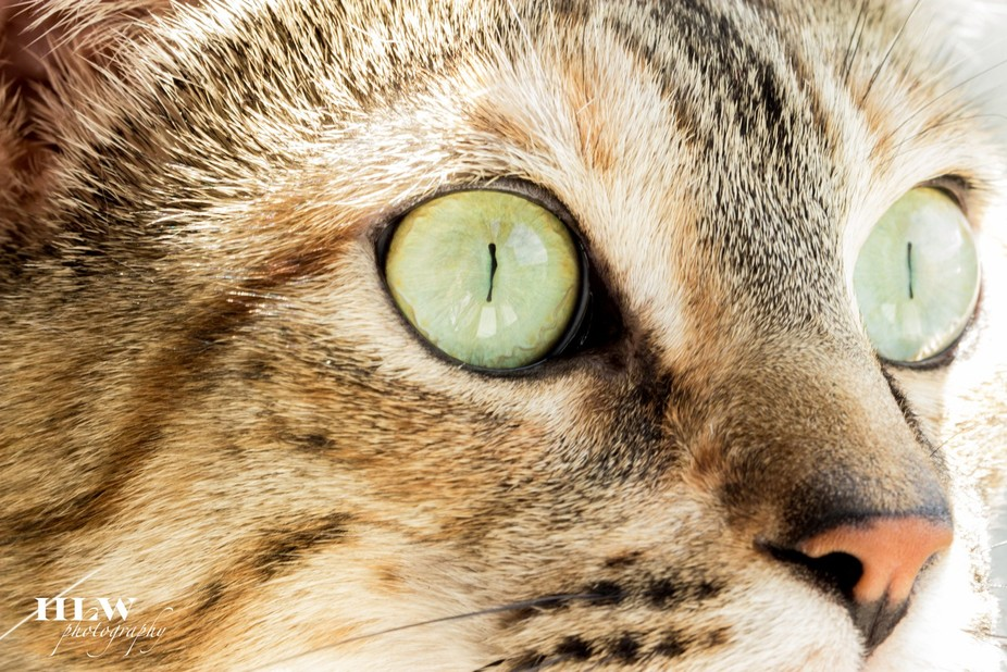 Up close and personal with a bengal