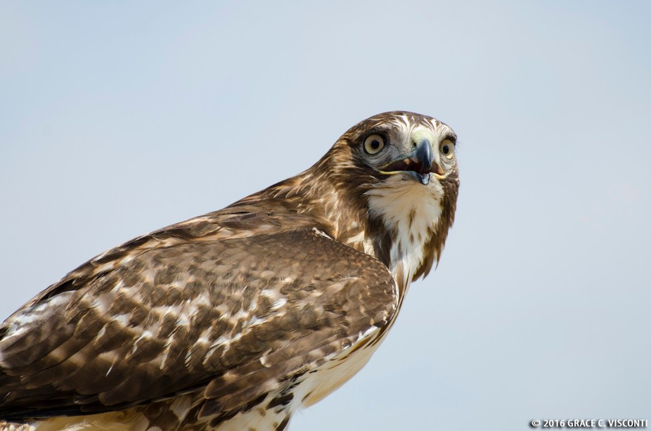 This photo was taken at the Alberta Birds of Prey Centre during a live flying demonstration in th...