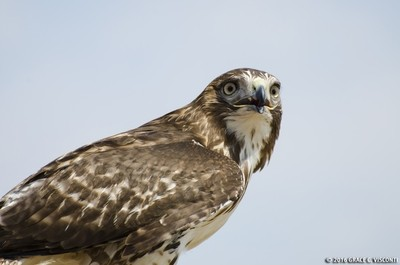 Red-tailed Hawk poses