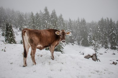 Snow Cow!! A summer blizzard in the Dolomites, Italy