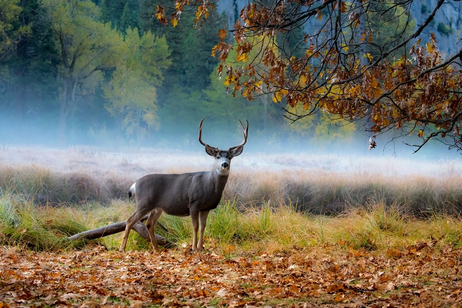 Found this old, well fed buck browsing in early Fall morning fog, Yosemite Valley.