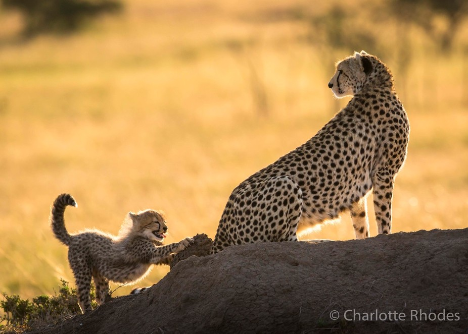 A young cub has an early morning stretch as mum keeps watch.