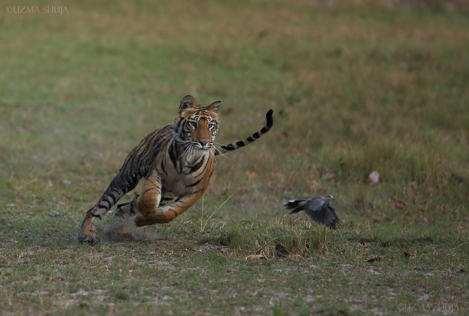 A young tiger cub chasing a dove