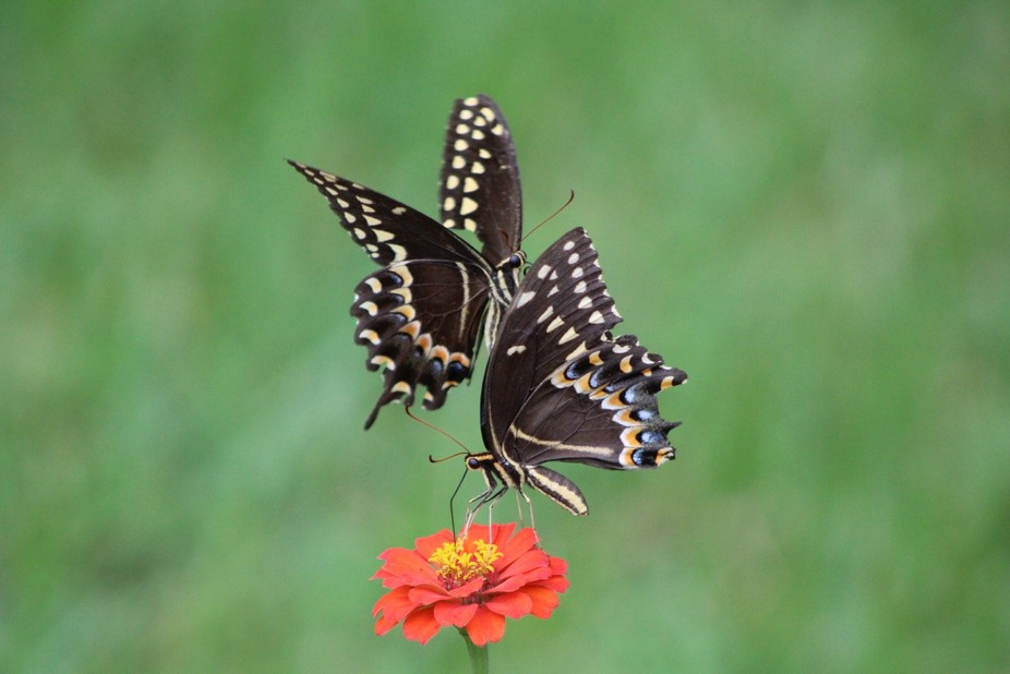 I've been obsessed with trying to get a photo of a butterfly in flight above a single fl...