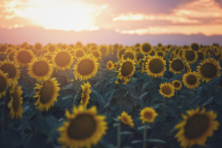 Picadilly Sunflowers