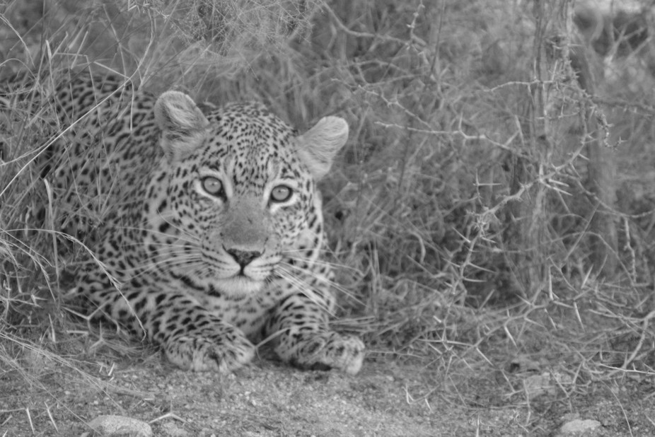 The leopard was lying next to the road as we drove past it in the Kruger National Park in South A...
