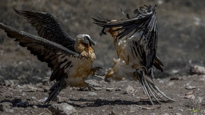 Fighting bearded Vultures