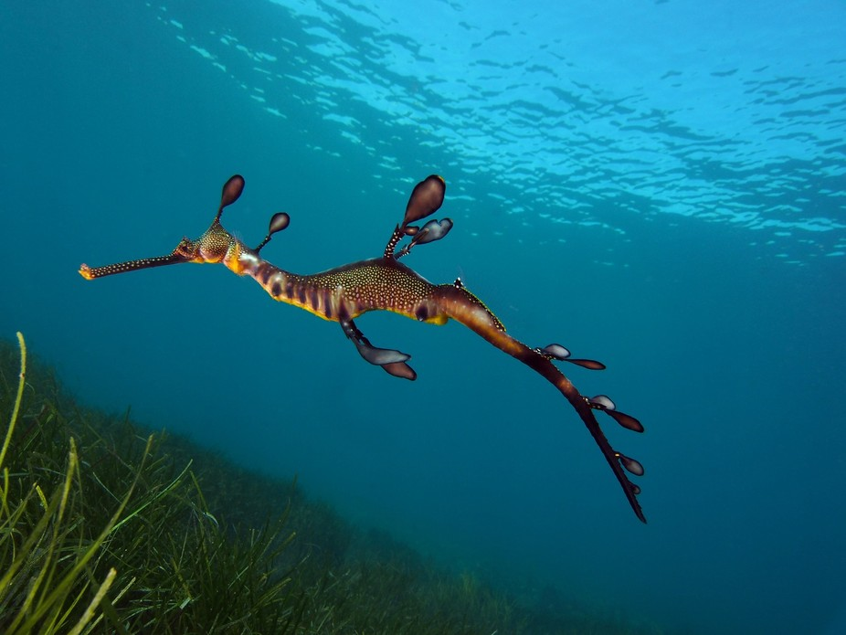 Juvenile Weedy  Sea Dragon in the Fields, Juveniles still have a bit of white on their bodies and...