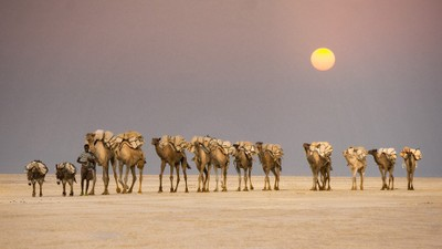 Salt Caravan in Danakil Depression