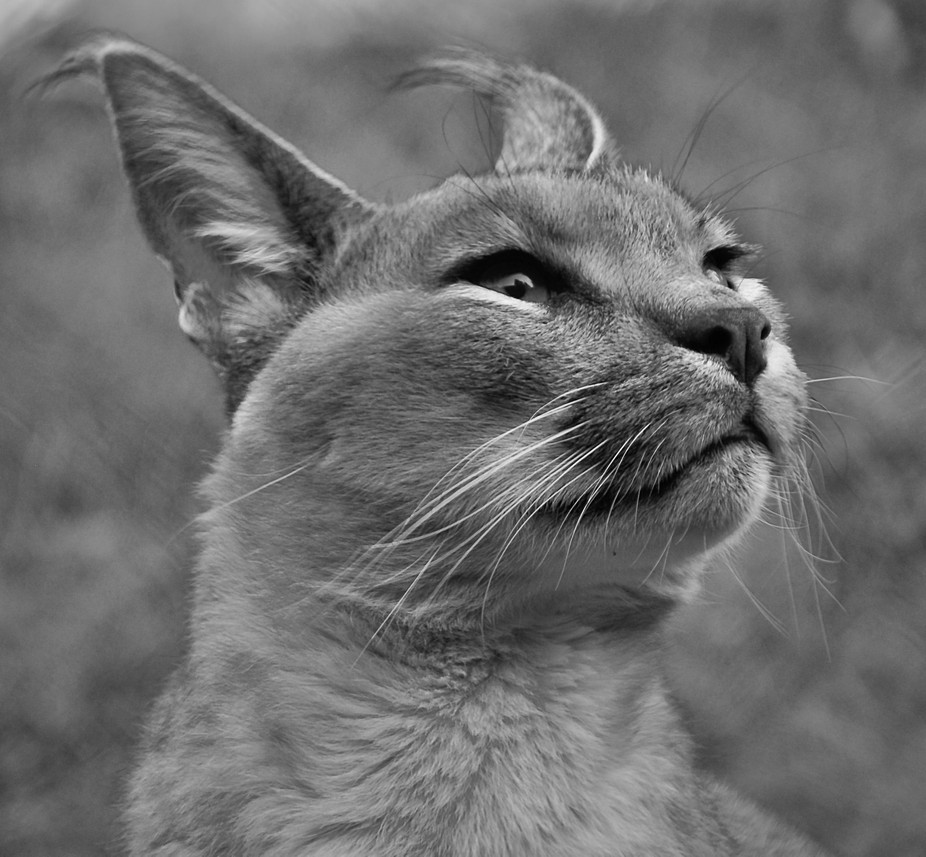 DSC0071  The Caracal is a medium sized wild cat native to Africa, the Middle East, Central Asia a...