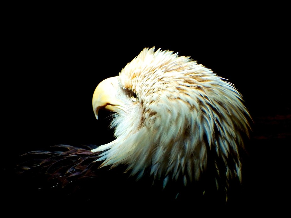this bald eagle resides in the Boise, ID zoo. It was injured and can not be rehabilitated to retu...