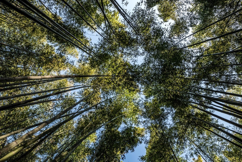 Different view of the bamboo of Arashiyama