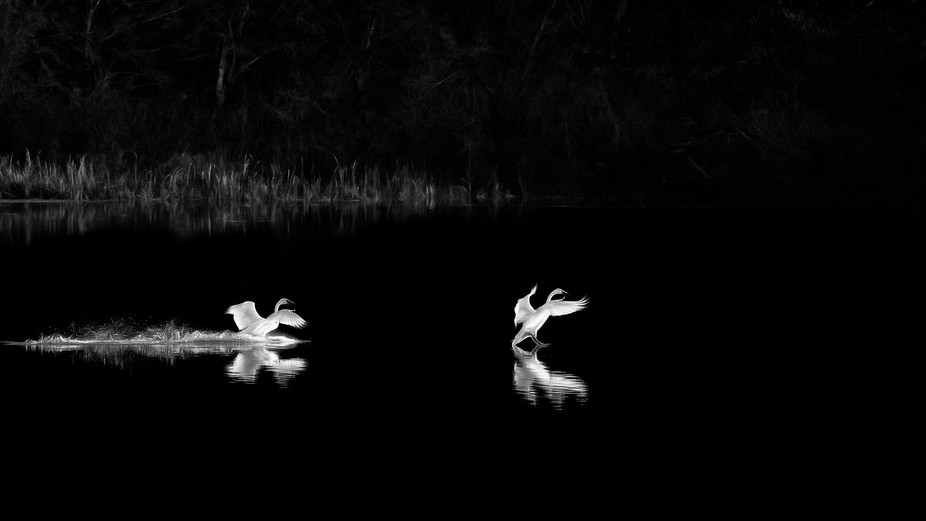 More from my recent days photographing the swans.