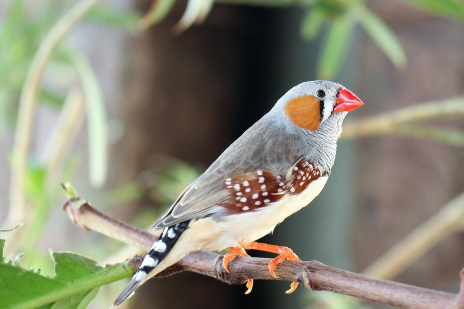 The finch at Bird Kingdom aviary in the Niagara Falls, Ontario. The zebra finch, is the most comm...