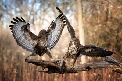 Quarrel between buzzards