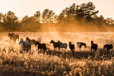 Mustangs Dusted at Sunset