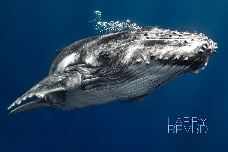 I was fortunate to take the trip of a lifetime and headed to Tonga. This is where the Humpback wh...