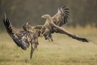 white-tailed eagles -fighting - Poland