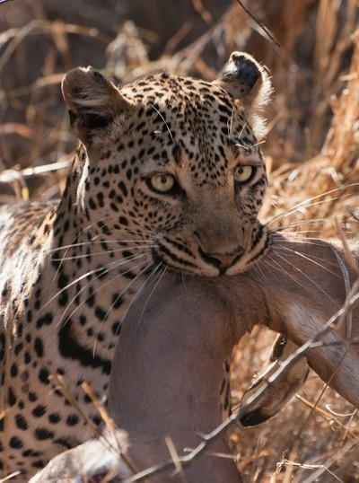 Leopard and prey-1396