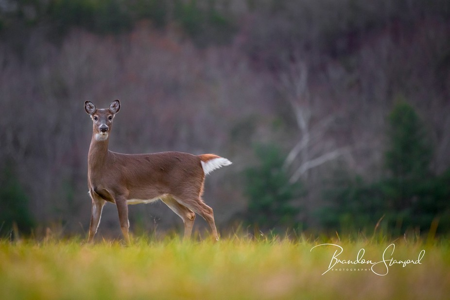 A doe was grazing in a meadow on some grass. As I tried to sneak up on her she spotted me, howeve...