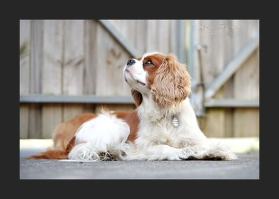 A Four Foot Fotos tail of Spaniels