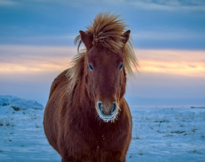 The sun splits the sky in Iceland behind a Iclandic horse