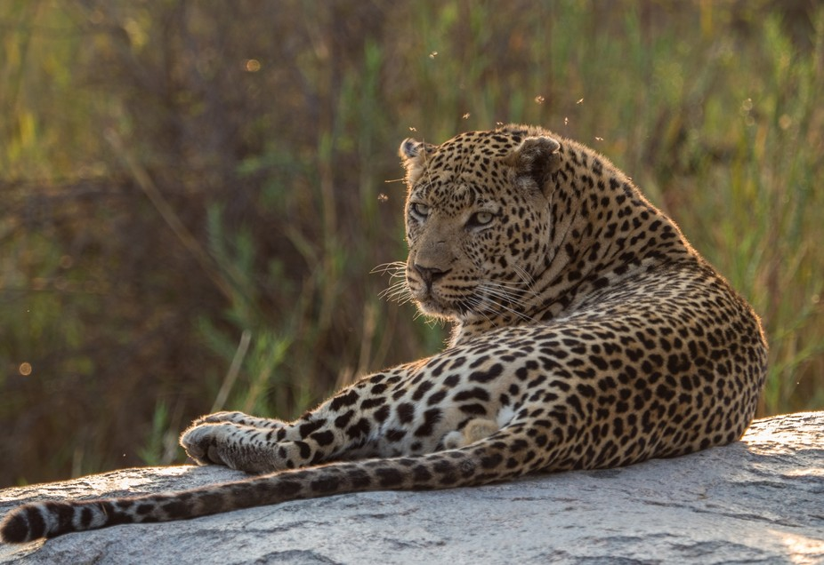 Leopard pestered by flies in Kruger park