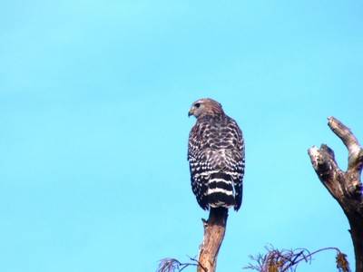 Red Shouldered Hawk Perched