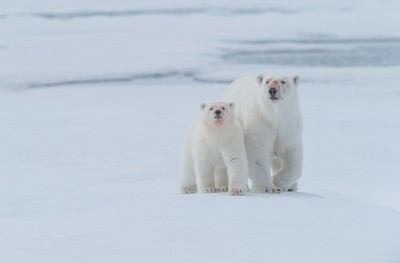 Mother and cub at 81.31 degrees north