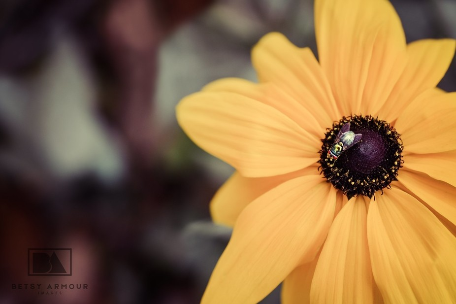 Autumn's final call to a fly's delight.  Tags fly wings autumn delight pollen p...