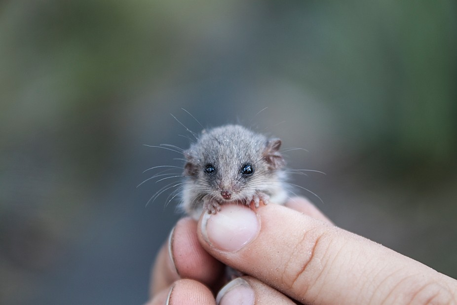 Weighing in at 3g this juvenile little pygmy possum, is one of the the smallest of the 5 pygmy po...